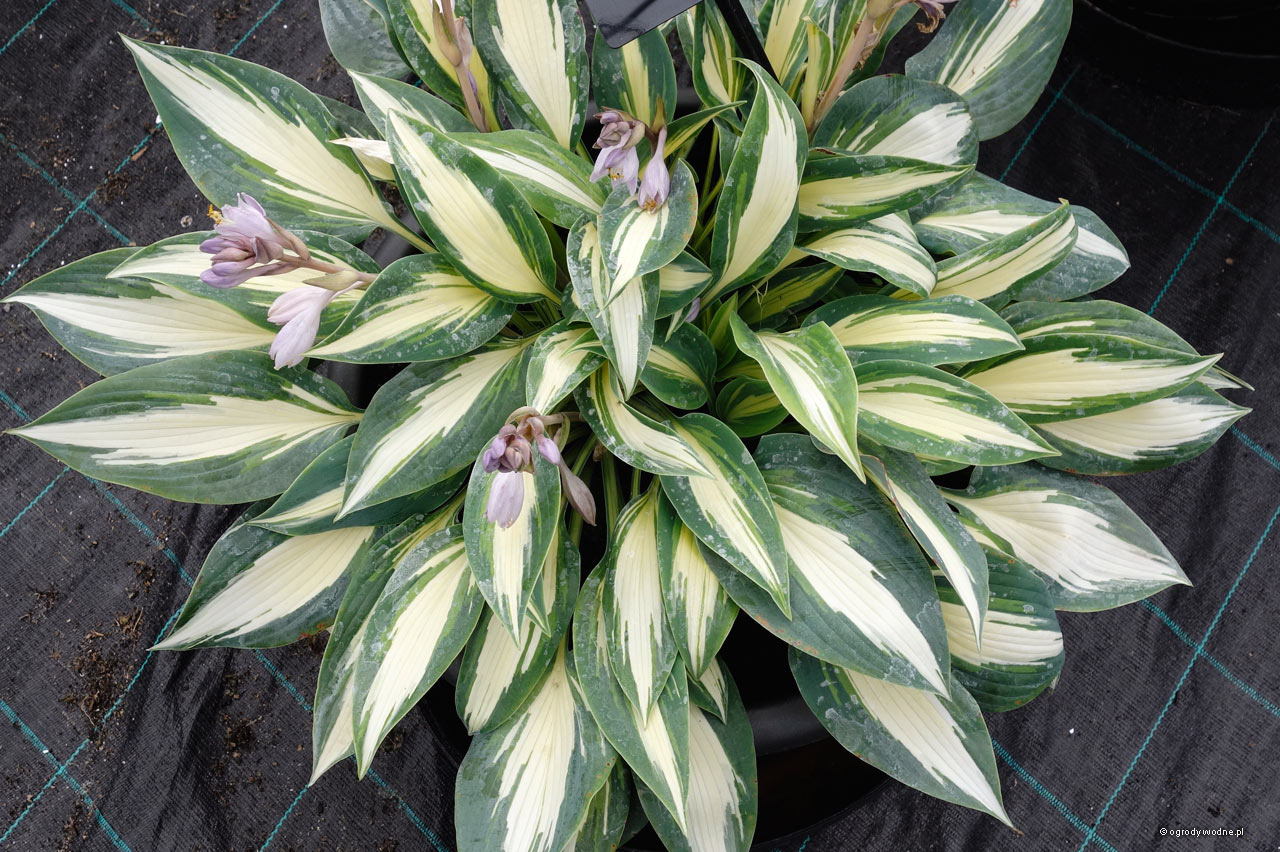 "Hosta ""Magic Island"", funkia"