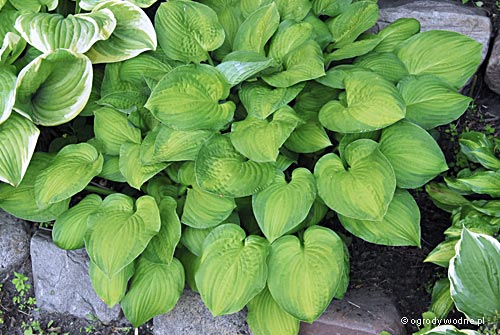 "Hosta ""Midwest Magic"", funkia"