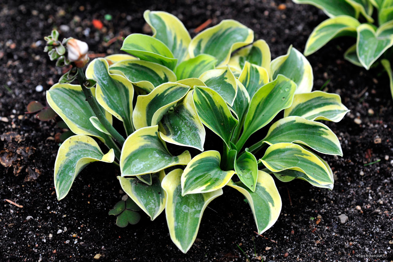 "Hosta ""Mighty Mouse"", funkia"