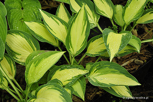 "Hosta ""Moonstruck"", funkia"