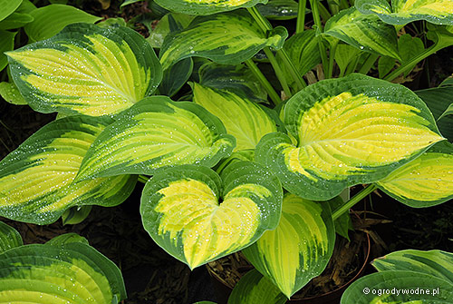 "Hosta ""Orange Marmalade"", funkia"