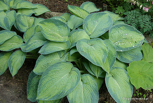 "Hosta ""Paul's Glory"", funkia"