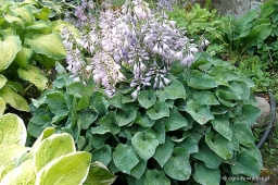 "Hosta ""Pearl Lake"""