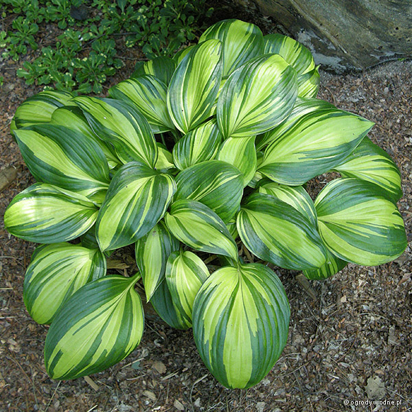 "Hosta ""Rainbow's End"", funkia"