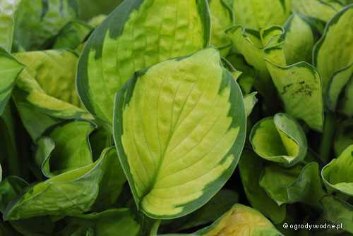 "Hosta ""Rainforest Sunrise"", funkia"