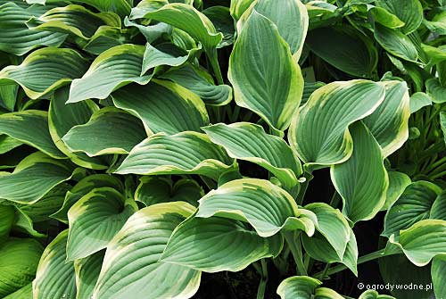 "Hosta ""Regal Splendor"", funkia"