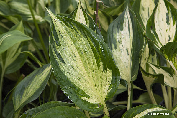 "Hosta ""Revolution"", funkia"