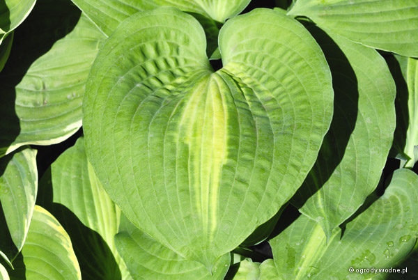 "Hosta ""Saint Paul"", funkia"