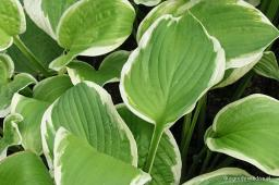 "Hosta ""Shade Fanfare"""