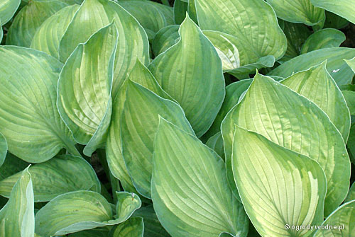 "Hosta ""Sharmon"", funkia"