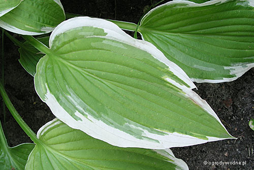 "Hosta ""Shogun"", funkia"