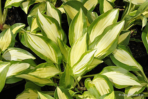 "Hosta ""Sitting Pretty"", funkia"