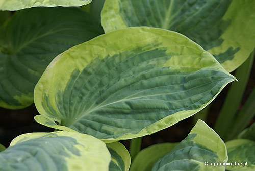 "Hosta ""Snow Cap"", funkia"