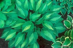 "Hosta ""Striptease"""