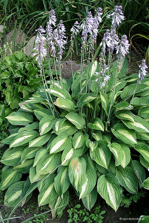 "Hosta ""Striptease"", funkia"