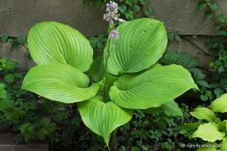 "Hosta ""Sum and Substance"""