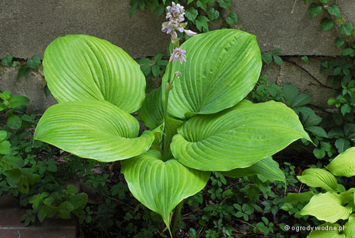 "Hosta ""Sum and Substance"", funkia"