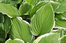"Hosta ""Summer Fragrance"""