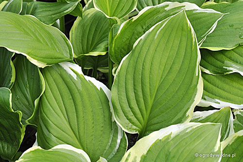 "Hosta ""Summer Fragrance"", funkia"