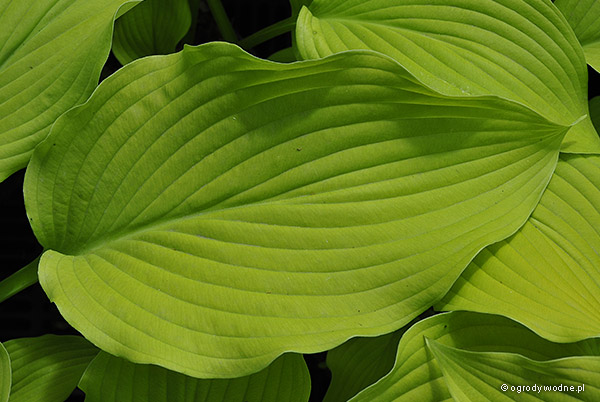 "Hosta ""Sun Power"", funkia"