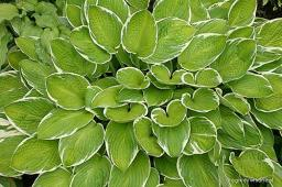 "Hosta ""Sunshine Glory"""