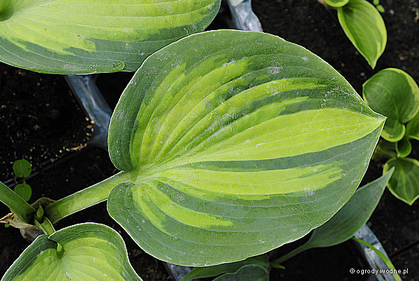 "Hosta ""Super Nova"", funkia"