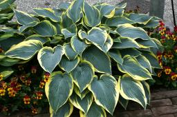 "Hosta ""Valley's Glacier"""
