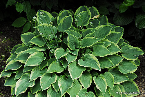 "Hosta ""Veronica Lake"", funkia"