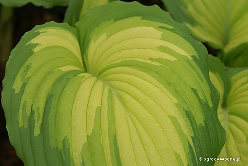 "Hosta ""War Paint"", funkia"