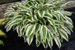 "Hosta ""White Dove"""