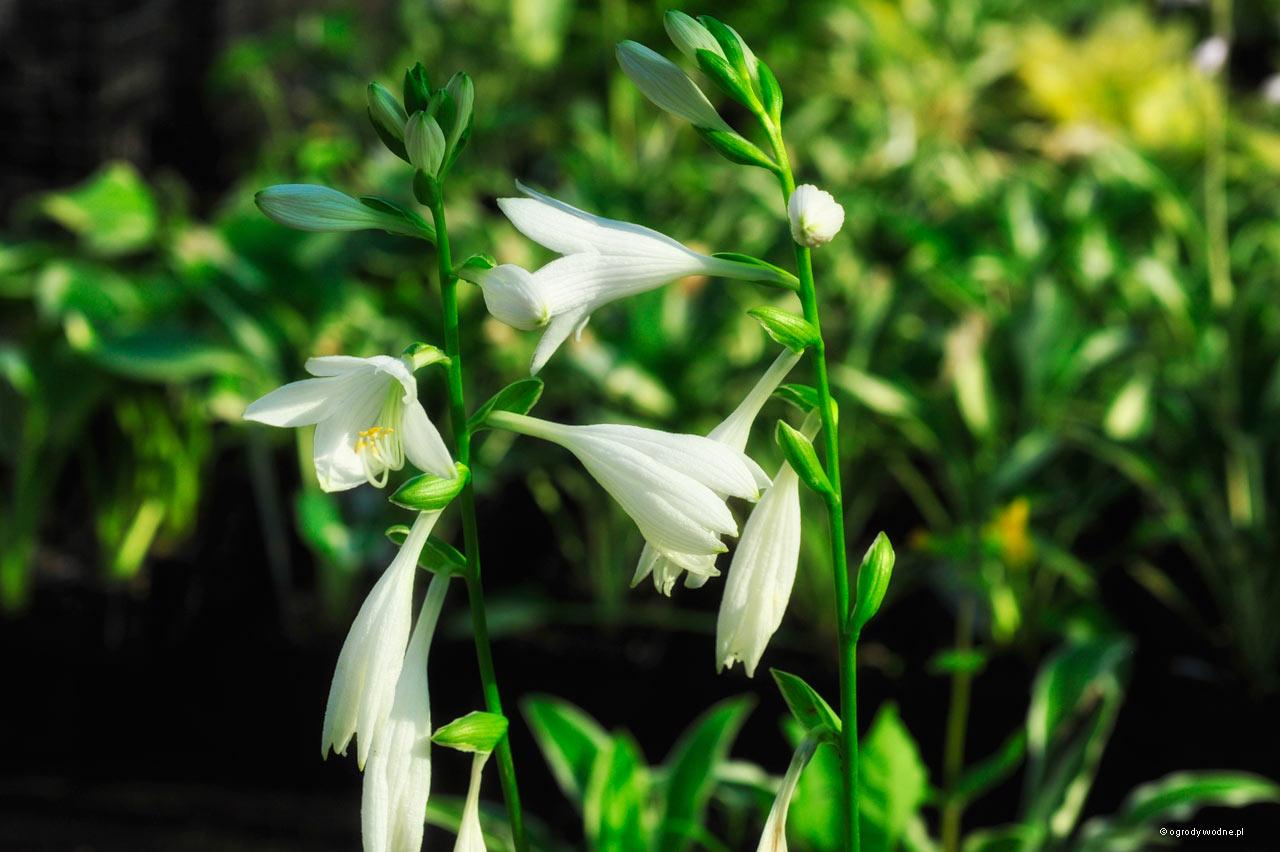 "Hosta ""White Dove"", kwiaty"