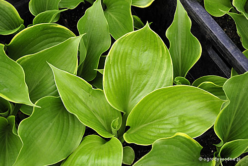 "Hosta ""Winter Snow"", funkia"