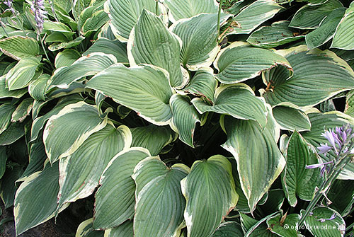 "Hosta ""Yellow River"", funkia"