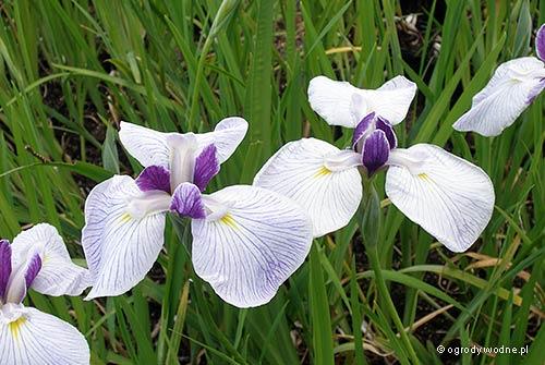 "Iris ensata ""Fortune"", kosaciec mieczolistny"