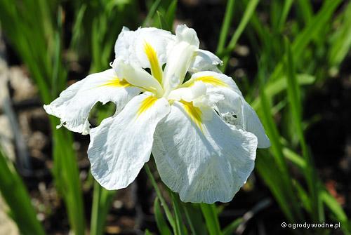 """Iris ensata """"Kiri Shigure"""", kosaciec mieczolistny"""