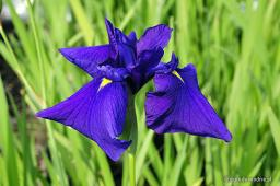 "Iris ensata ""Loyalty"""