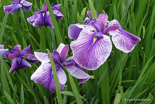 """Iris ensata """"Midnight Star"""", kosaciec mieczolistny"""