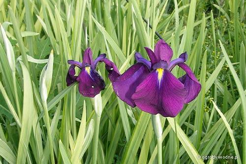 """Iris ensata """"Variegata"""", kosaciec mieczolistny pstry"""