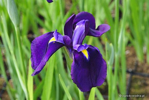 """Iris ensata """"Edmonton"""", kosaciec mieczolistny"""