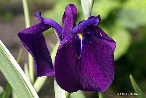 "Iris laevigata ""Variegata"", kosaciec gładki"