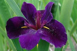 "Iris louisiana ""Black Gamecock"""