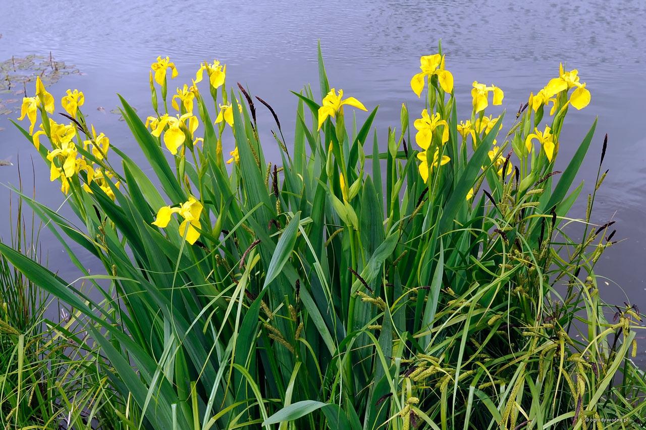 Iris pseudacorus, kosaciec żółty