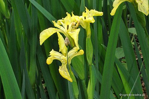 "Iris pseudacorus ""Bastardi"", kosaciec żółty"