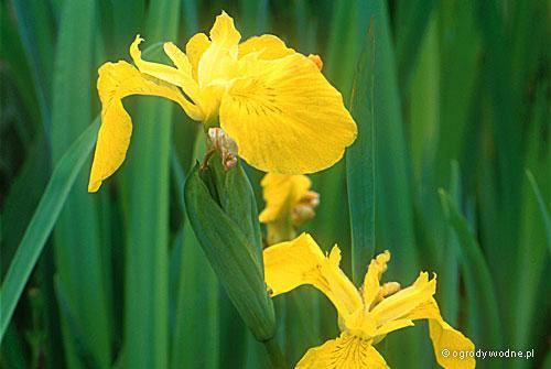 """Iris pseudacorus """"Flore Pleno"""", kosaciec żółty pełnokwiatowy"""