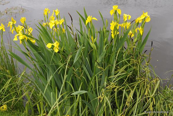 Kosaciec żółty - kwitnąca kępa nad stawem