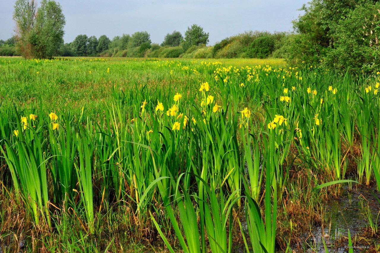 Iris pseudacorus, kosaciec żółty na łące