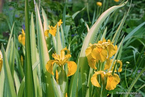 """Iris pseudacorus """"Variegata"""", kosaciec żółty pstrolistny"""