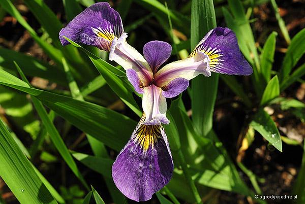 """Iris setosa """"Kirganune"""", kosaciec szczecinkowy"""