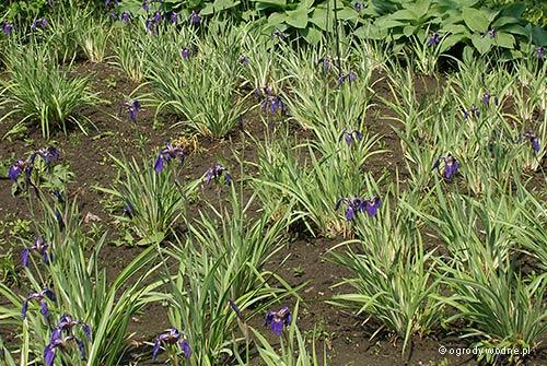 """Iris setosa """"Variegata"""", kosaciec szczecinkowaty pstrolistny"""
