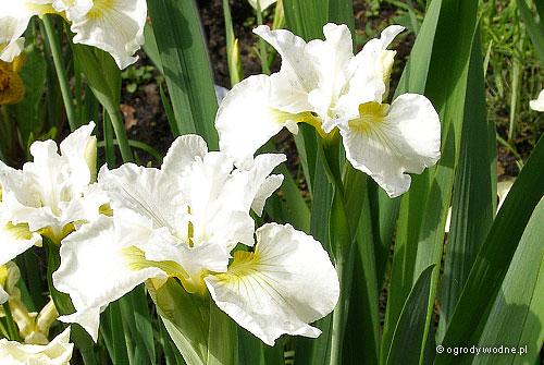"Iris sibirica ""Bellissima"", kosaciec syberyjski"